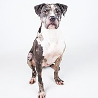 Adopt A Pet :: Boomer - Decatur, GA
