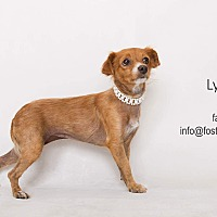 Papillon Mix Dog for adoption in Riverside, California - Lyra