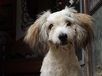 Maltese/Toy Poodle Mix Dog for adoption in Zaleski, Ohio - Chester