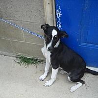 Adopt A Pet :: Lambkins - Rexford, NY