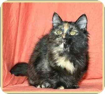 Calico Kitten for adoption in Ladysmith, Wisconsin - Gizmo