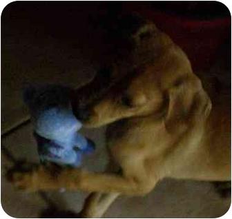 Golden Retriever/Labrador Retriever Mix Puppy for adoption in Cocoa, Florida - Sarah