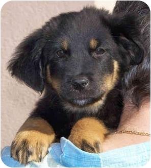 Rottweiler/German Shepherd Dog Mix Puppy for adoption in El Segundo, California - Holly