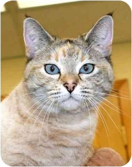 Domestic Shorthair Cat for adoption in Phoenix, Oregon - Tanya