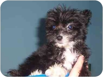 Terrier (Unknown Type, Small)/Poodle (Miniature) Mix Puppy for adoption in Bristow, Oklahoma - Ruffles