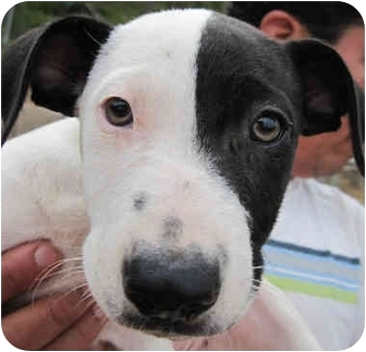 Australian Shepherd/Labrador Retriever Mix Puppy for adoption in Poway, California - Abe & Alfred
