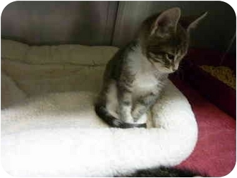 Domestic Shorthair Kitten for adoption in Grants Pass, Oregon - Pearl