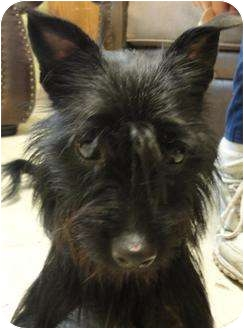 Affenpinscher/Terrier (Unknown Type, Medium) Mix Dog for adoption in Barron, Wisconsin - Stella