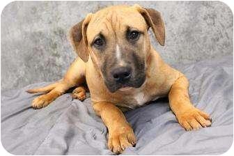 English Mastiff Mix Dog for adoption in Greer, South Carolina - Sonny