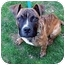 Photo 1 - Boxer/American Pit Bull Terrier Mix Puppy for adoption in Worcester, Massachusetts - Minnie