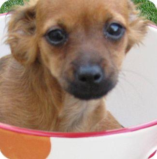 Dachshund/Chihuahua Mix Puppy for adoption in Oakley, California - Baby Heidi
