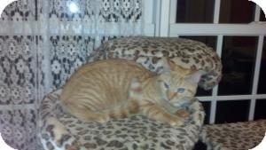 Domestic Shorthair Kitten for adoption in Raritan, New Jersey - Scamp