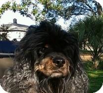 Cocker Spaniel Dog for adoption in St. Petersburg, Florida - Mandy