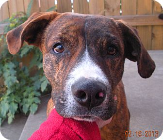 Labrador Retriever/Boxer Mix Dog for adoption in Cranford, New Jersey - Rugar
