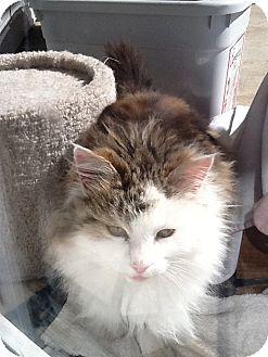Domestic Longhair Cat for adoption in Bentonville, Arkansas - Lucky