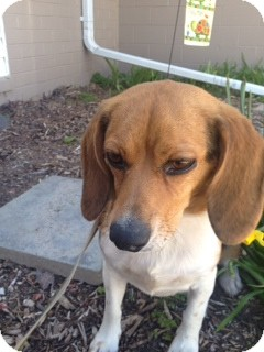 Beagle Mix Dog for adoption in Waldorf, Maryland - Pup Pup #377