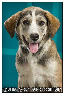 Shepherd (Unknown Type)/Husky Mix Puppy for adoption in Owensboro, Kentucky - Bugsy