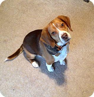 Beagle/Basset Hound Mix Dog for adoption in Troy, Michigan - Elvis