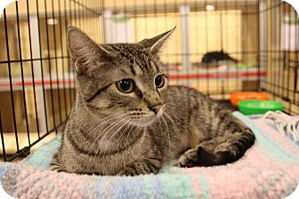 Domestic Shorthair Cat for adoption in Rochester, Minnesota - Princess Peach