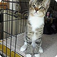 Adopt A Pet :: Piper - Dallas, TX