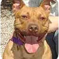 Adopt A Pet :: Daisy - Hoffman Estates, IL