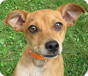 Chihuahua/Terrier (Unknown Type, Small) Mix Dog for adoption in Middletown, New York - Buddy
