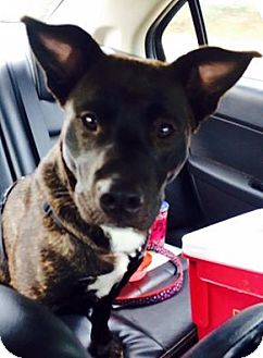 Labrador Retriever/Pit Bull Terrier Mix Puppy for adoption in Barnegat, New Jersey - Lady