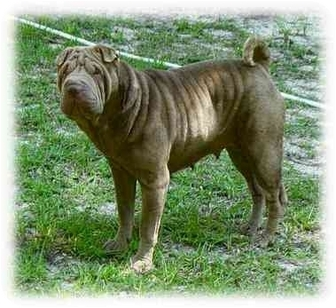 Shar Pei Dog for adoption in Houston, Texas - Violet