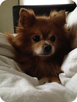 Pomeranian Dog for adoption in Indianapolis, Indiana - Franklin