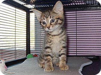 Domestic Shorthair Kitten for adoption in Hamilton., Ontario - billy