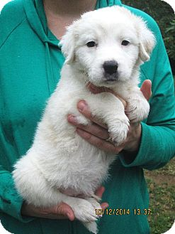 Labrador Retriever/Maremma Sheepdog Mix Puppy for adoption in Brookside, New Jersey - Abraham