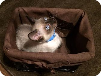 Siamese Kitten for adoption in Gainesville, Florida - Agnes
