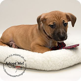 Pit Bull Terrier Mix Puppy for adoption in Troy, Ohio - Grayson