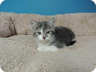 Domestic Shorthair Kitten for adoption in Brookings, South Dakota - Denny