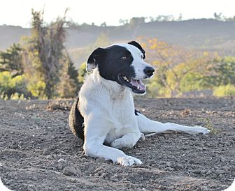 Border Collie Mix Dog for adoption in Thousand Oaks, California - Snoop