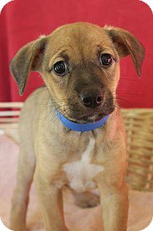 Shepherd (Unknown Type) Mix Puppy for adoption in Waldorf, Maryland - Bandit
