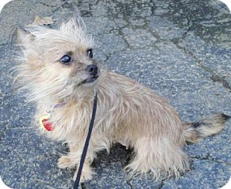Yorkie, Yorkshire Terrier Mix Dog for adoption in Rockville, Maryland - Charlotte-ADOPTION PENDING!!