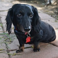 Dachshund Dog for adoption in Pearland, Texas - Shiloh