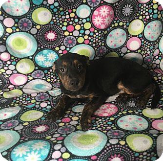 Miniature Pinscher/Terrier (Unknown Type, Medium) Mix Puppy for adoption in Lonedell, Missouri - Kim