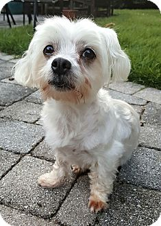 Maltese/Yorkie, Yorkshire Terrier Mix Dog for adoption in Bowie, Maryland - Adopted!Lilo