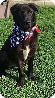 Labrador Retriever/Border Collie Mix Puppy for adoption in West Milford, New Jersey - CHANCE-pending