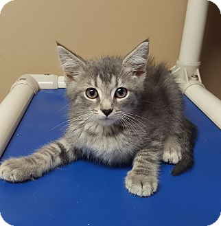 Domestic Shorthair Kitten for adoption in Germantown, Tennessee - Bailey