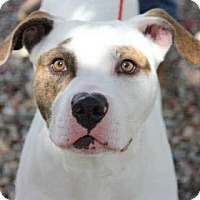American Pit Bull Terrier Dog for adoption in Greensboro, North Carolina - Rufus