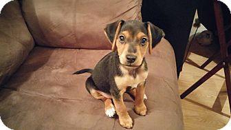 Beagle/Dachshund Mix Puppy for adoption in Cincinnati, Ohio - Jordan