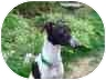 Italian Greyhound Dog for adoption in Centinnial, Colorado - Hachi
