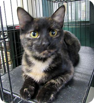 Domestic Shorthair Cat for adoption in Grinnell, Iowa - Tori