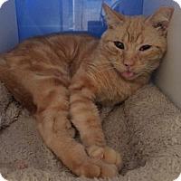 Domestic Mediumhair Cat for adoption in Atlanta, Georgia - Cornucopia