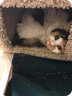 Domestic Longhair Cat for adoption in Bensalem, Pennsylvania - Clementine