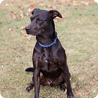 Labrador Retriever/Doberman Pinscher Mix Dog for adoption in Norfolk, Virginia - ROMEO