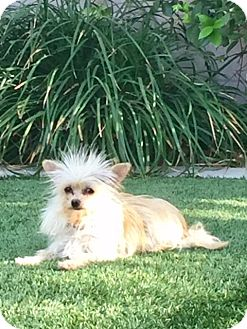 Yorkie, Yorkshire Terrier Dog for adoption in Henderson, Nevada - Dilly
